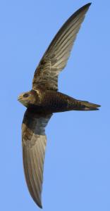 AGAMI-Common-Swift,-Gierzwaluw,-Apus-apus-Daniele-Occhiato-26060